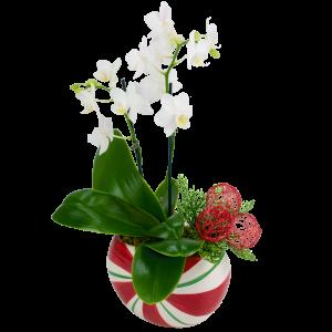 Mini Mint Orchid