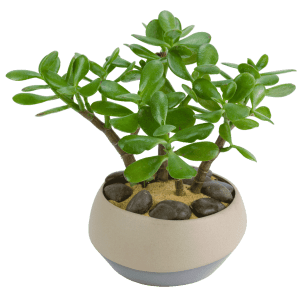 Potted Jade Plant