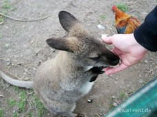 Farmyard Holiday Park Geraldine Wallaby