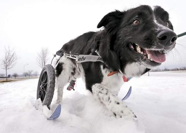 paralyzed-dog-ski-wheelchair
