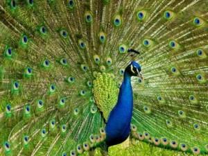 Bankapur peacock sanctuary