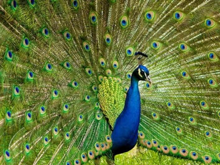 Bankapur peacock sanctuary. Image source sarojads.com