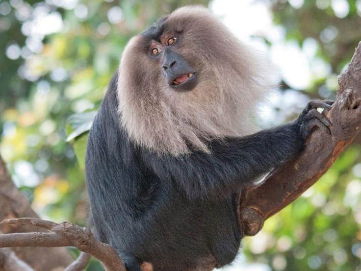 Baboon, Someshwara Wildlife Sanctuary. Image source sanctuariesindia.com