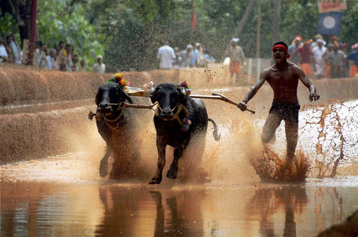 Buffalo Race in Mangaluru