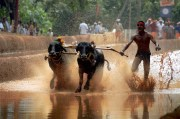 Kambala – A Traditional Celebration in Rural Karnataka