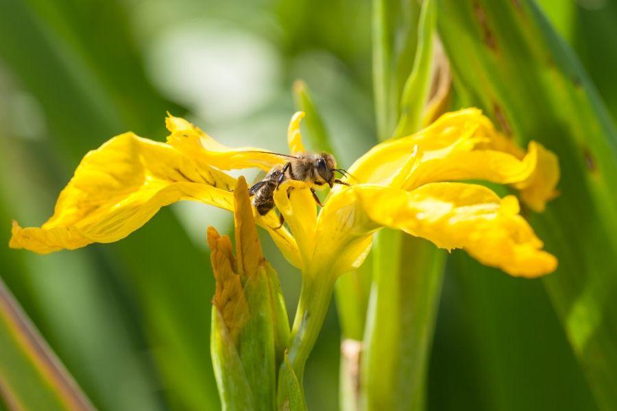 Biene auf gelber Schwertlilie - Foto: Thomas Burchhart