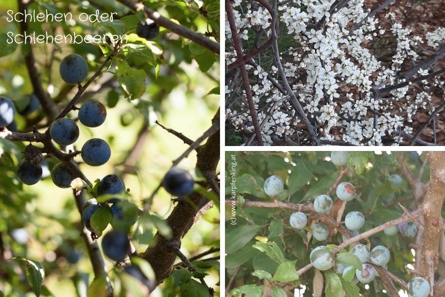 Schlehen oder Schlehenbeeren als Früchte und in der Blüte