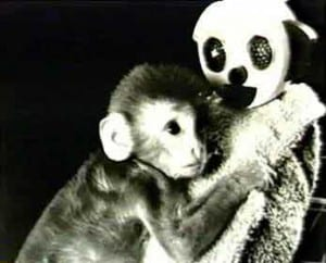 Harry Harlow observed that infant rhesus monkeys preferred the terry cloth covered surrogate, especially when distressed or afraid.