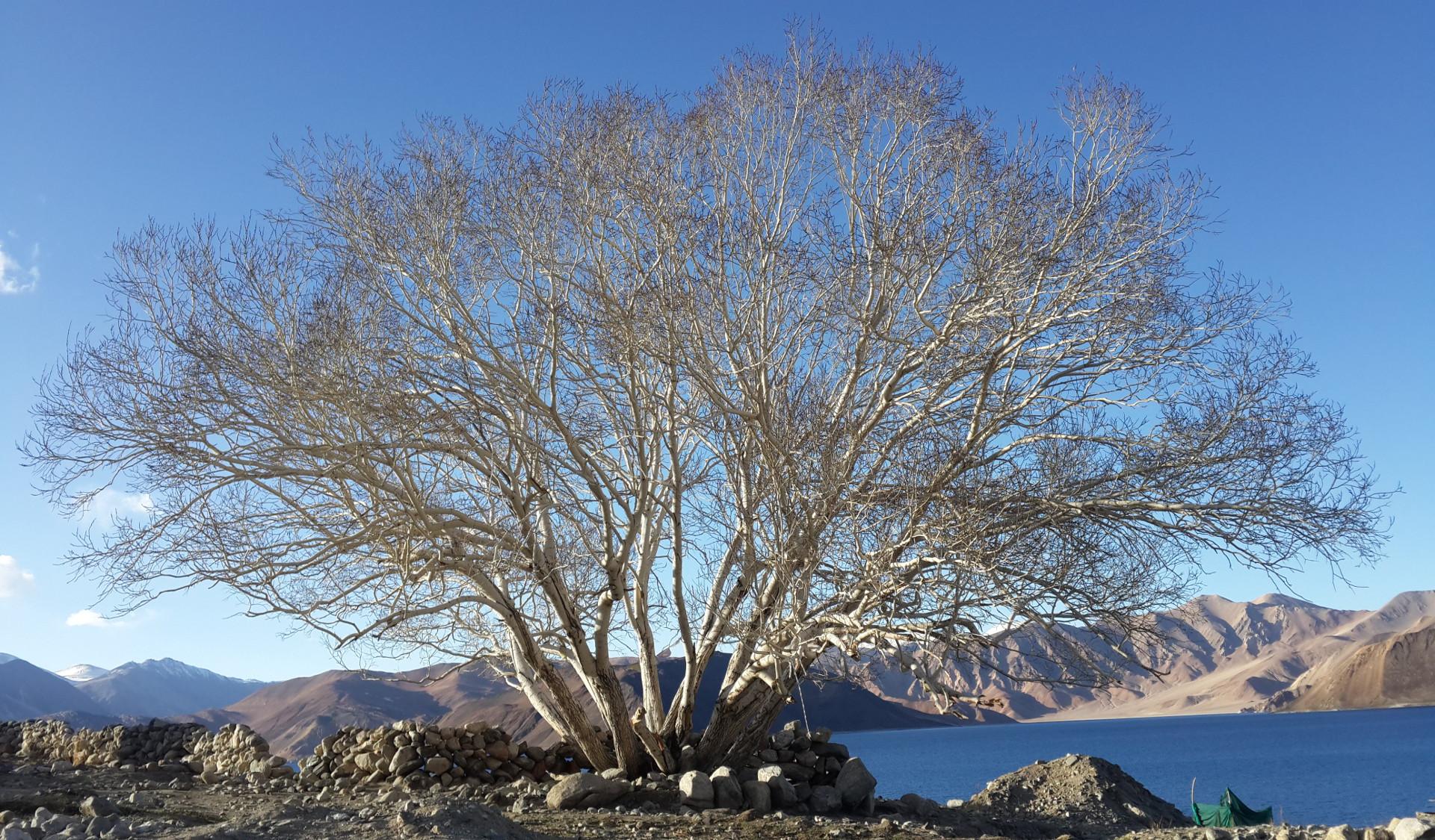 pangong-tree-of-life_hd