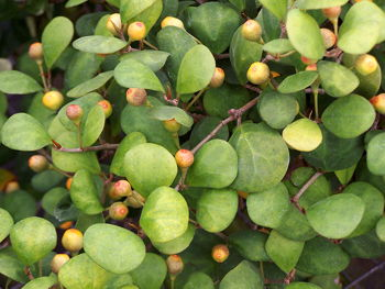 Kartuz Greenhouses Ficus deltoidea