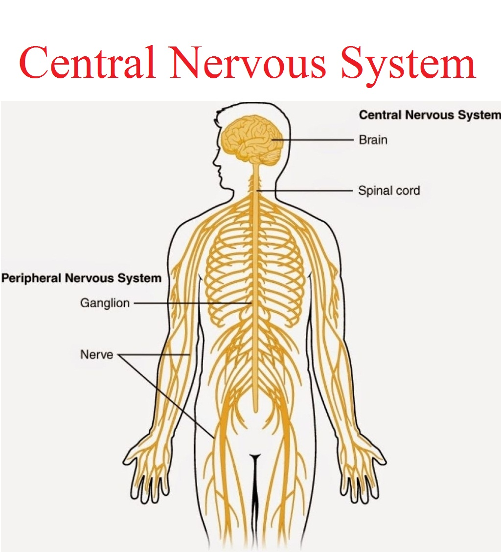 hight resolution of central nervous system karuna yoga best yoga teacher training course bangalore india