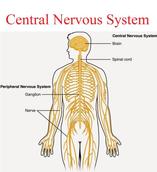small resolution of central nervous system karuna yoga best yoga teacher training course bangalore india