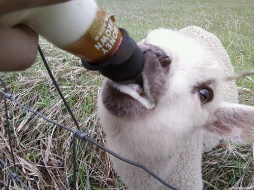 Photo title: Honey Brown Goat