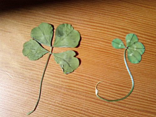 Photo title: Two Clovers
