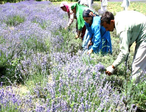 drug-research-in-Kashmir