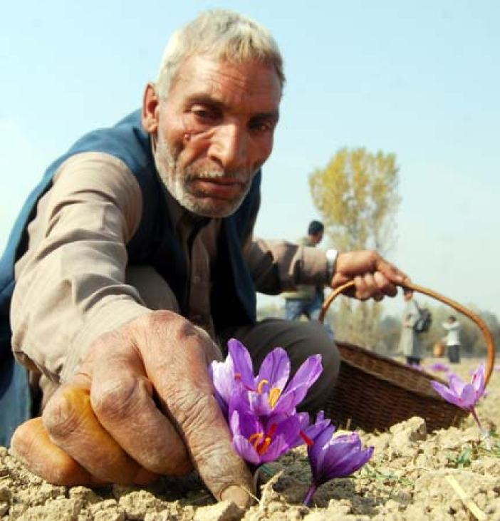 Bracketing Flower: According to the traditional Kashmiri legends, saffron was brought to the region by two sufi ascetics, Khawja Masood wali (r.a) and Sheikh Sharif-u-din wali (r.a) during the 11th and 12th centuries A.D.
