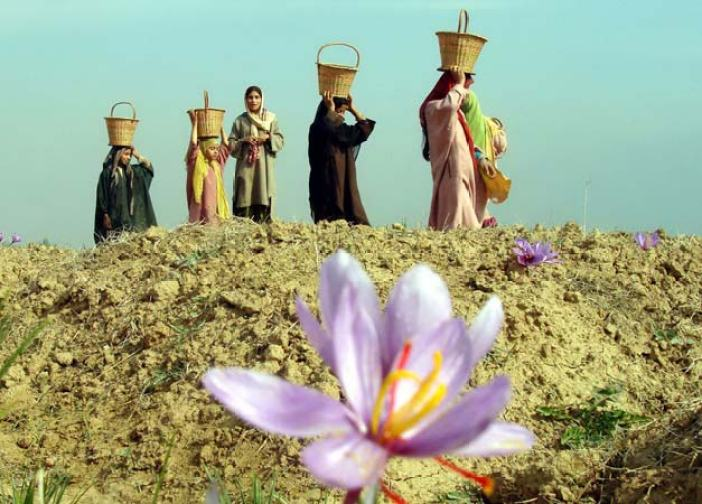 Marching In: To this day grateful prayers are offered to the two saints during the saffron harvesting season in late autumn. The saints indeed have a golden-domed shrine and tomb dedicated to them in the saffron trading town of Pampore,India.