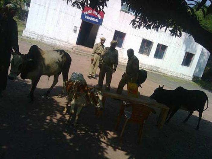 Cows and oxen recovered by Police from alleged Bovine smugglers in Jammu.