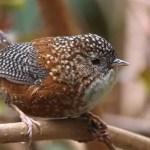 Wren Bird