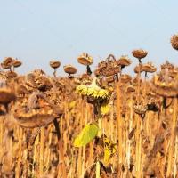 Glyphosat auf Sonnenblumen