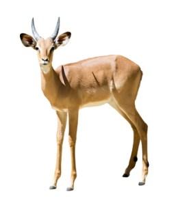 Spryker Antilope