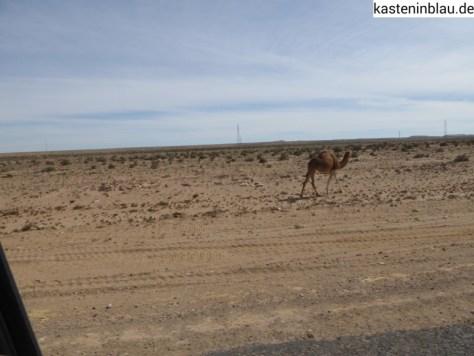 Bloß kein Kamel überfahren!