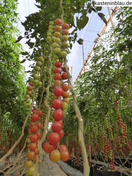 riesige Tomtatenpflanzen