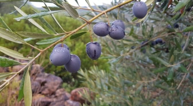 Portugal: Olivenöl direkt aus der Oliven – Presse