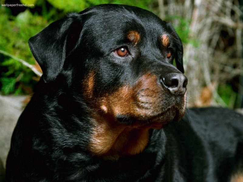 German Rottweiler Dog Breed Facts & Information