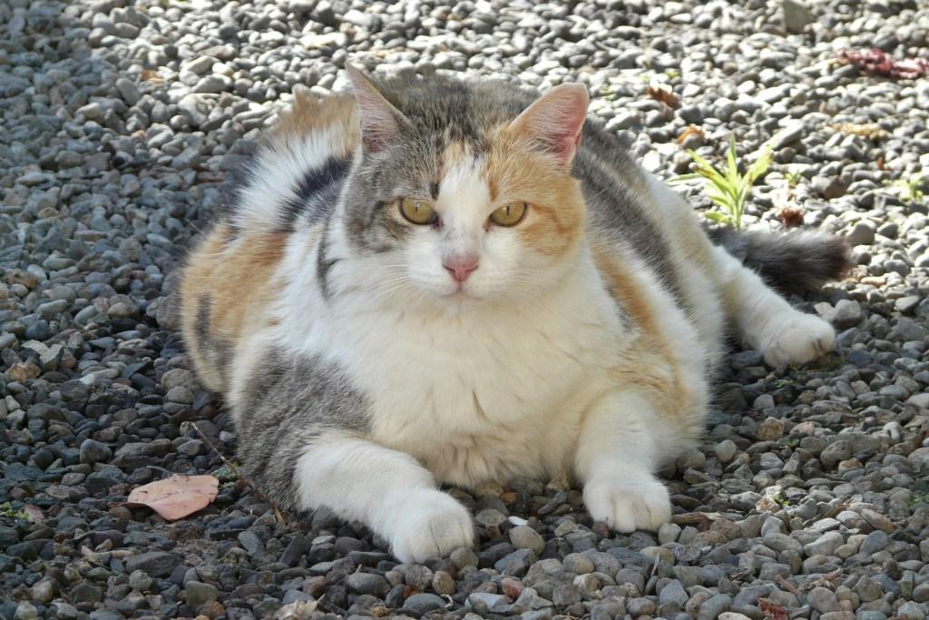 vervilte vacht kat