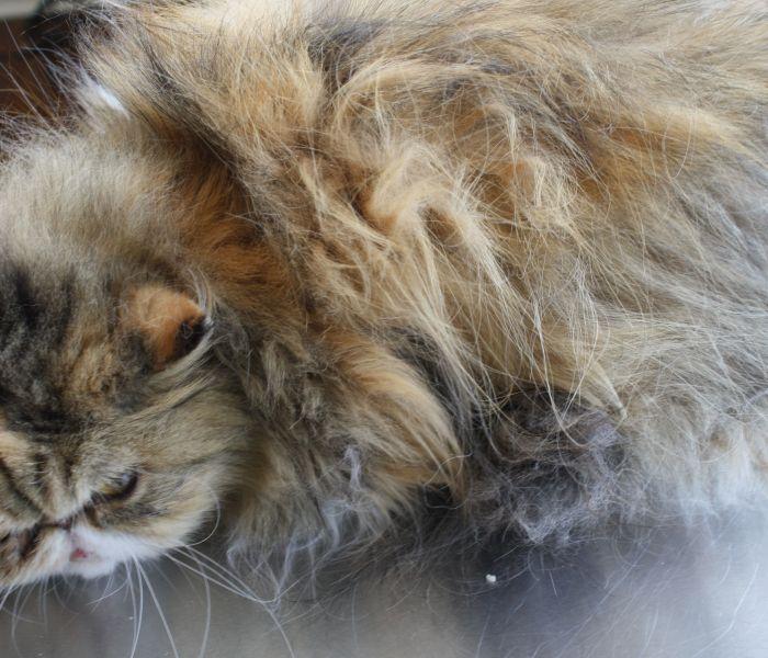 Vervilte vacht van een kat, wat kun je er aan doen?