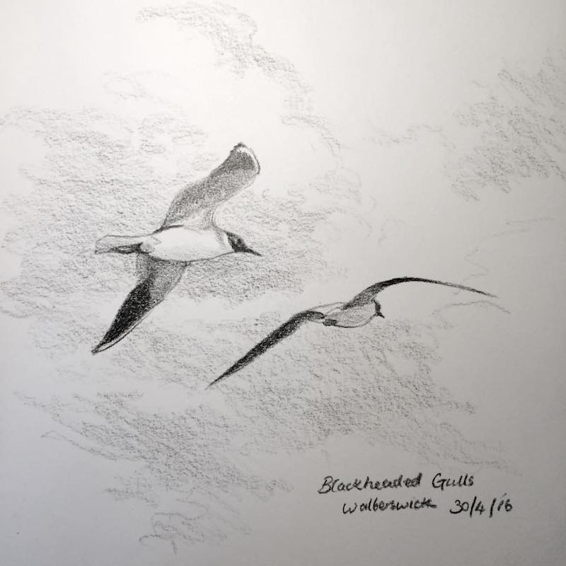 black headed gulls sketch walberswick 121