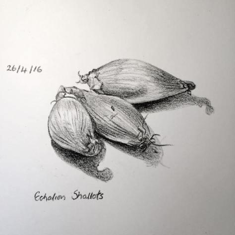 shallots sketch 117