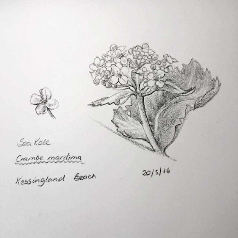 Sea Kale sketch 141