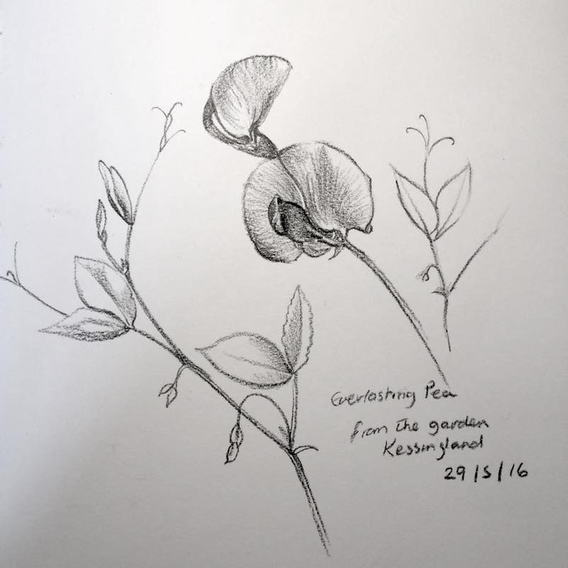 everlasting pea sketch 150