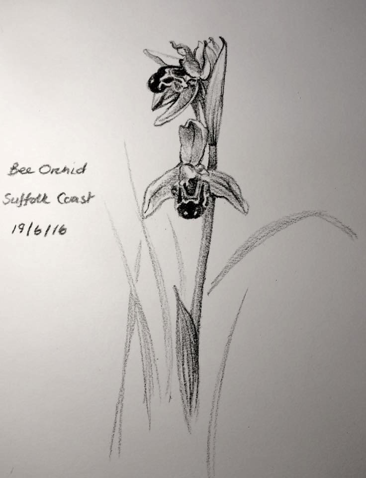Bee orchid sketch day 171