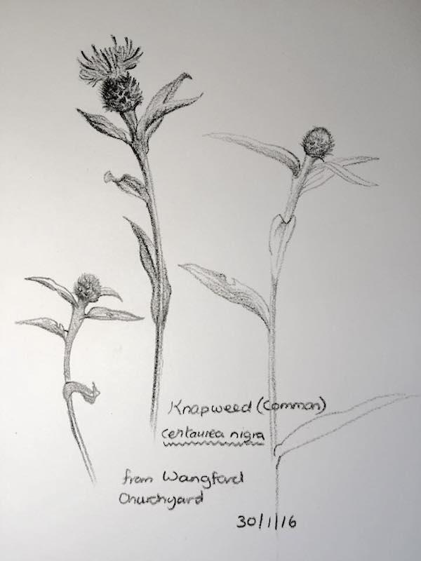 Knapweed sketch 182