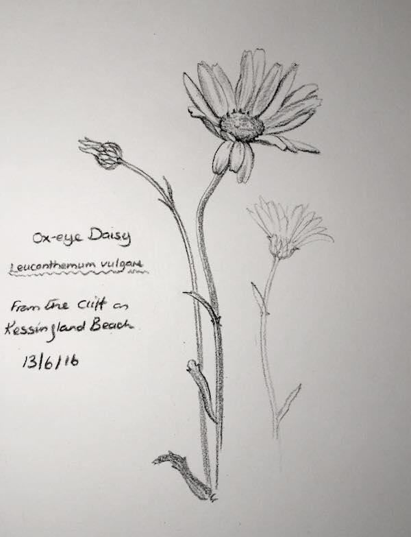 Ox Eye daisy sketch 165