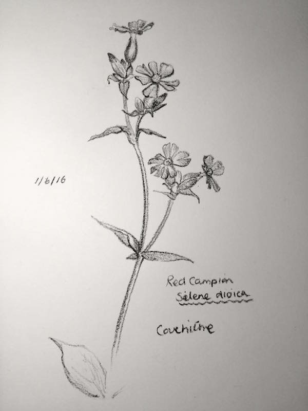 Red Campion sketch 153