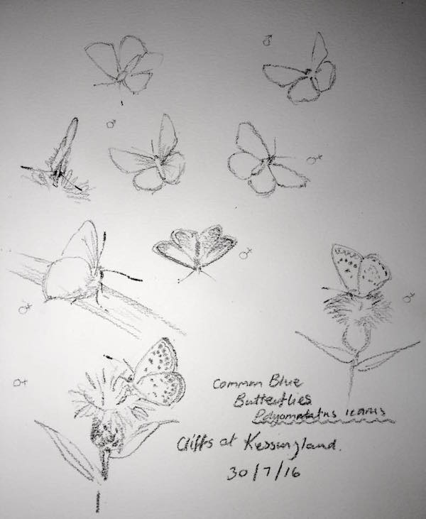 Common Blue butterfly sketches 212
