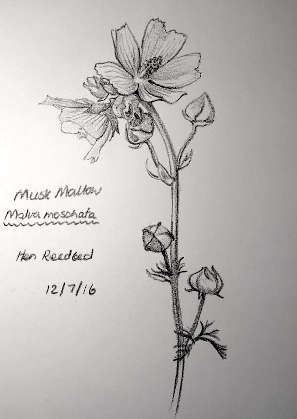 Musk Mallow sketch 194