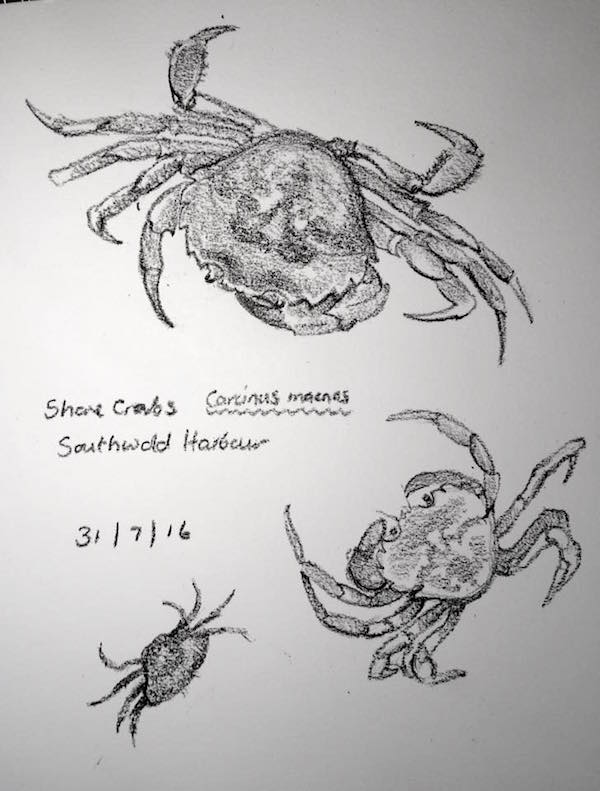 Shore crab sketches 213