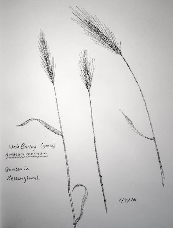Wall Barley sketch 214