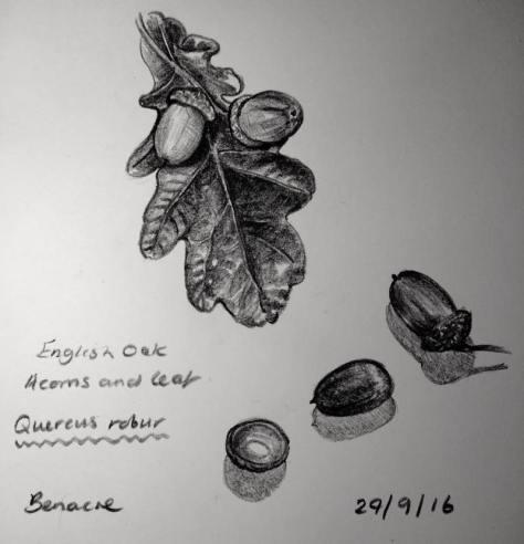 Acorns sketch sketch 273