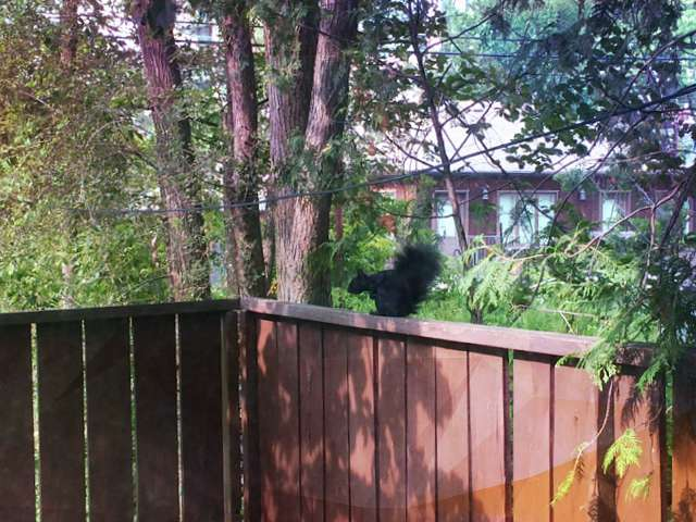 Wild animals fauna Canada black squirrel