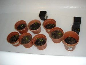 Seed Starts in the bathtub