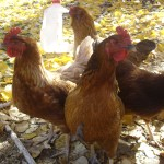 Traveling with Chickens - our four girls!