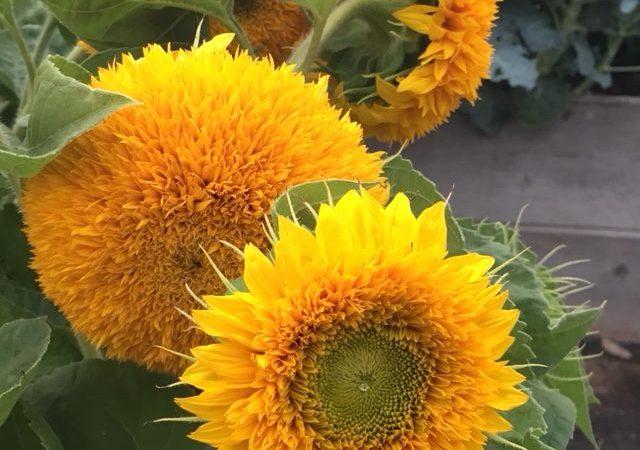 Teddy Bear Sunflowers, Dwarf Sunflowers, Botanical Interests