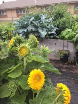 Teddy Bear Sunflowers, Dwarf Sunflowers, Botanical Interests, Church Garden