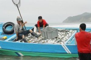 Kate working with commercial sardine fishers, Puerto Lopez, Equador
